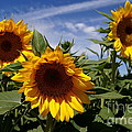 3 Sunflowers Poster by Kerri Mortenson
