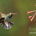 Broad Billed Hummingbird Print by Scott Linstead