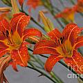 Day Lilly Print by William Norton