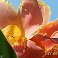 Dwarf Canna Lily named Corsica Poster by J McCombie