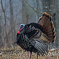 Jake Eastern Wild Turkey Poster by Linda Freshwaters Arndt