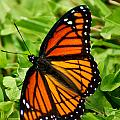 Monarch Butterfly Poster by Carol Toepke