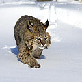 bobcat felis rufus by Carol Gregory