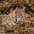 611000006 bobcat felis rufus wildlife rescue Poster by Dave Welling