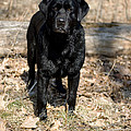 Black Labrador Retriever Print by Linda Freshwaters Arndt