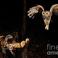 Eastern Screech Owl Print by Scott Linstead