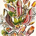 A Collection Of Nepenthaceae Print by Ernst Haeckel