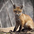 A Cute Kit Fox Portrait 1 Print by Thomas Young