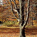 A Fall Tree in New England Print by Mike McCool