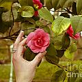 A hand and a Camellia Print by Dr Mador