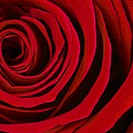 A Rose for Valentine's Day Print by Adam Romanowicz