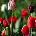 A Tapestry Of Tulips Print by Nick  Boren