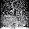 A Tree in the Snow Poster by John Rizzuto
