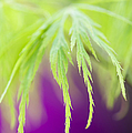 Acer leaves Print by Tim Gainey