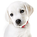 Adorable Yellow Lab Puppy Print by Diane Diederich