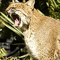 Adult Florida Bobcat Poster by Anne Rodkin