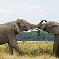 African Elephant Bulls Fighting by Suzi Eszterhas