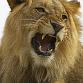 African Lion Male Growling Print by San Diego Zoo