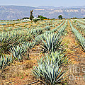 Agave cactus field in Mexico Print by Elena Elisseeva