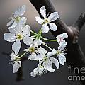 Age of Innocence Flowers from an American Plum Tree Poster by Brigitte Cadena