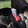 All Turkey Poster by Todd Hostetter