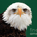 American Bald Eagle on the Look Out Poster by Inspired Nature Photography By Shelley Myke