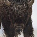 American Bison Portrait by Tim Fitzharris