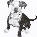 American Bull Dog as a PUP Poster by Jack Pumphrey