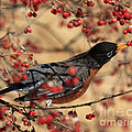 American Robin Eating Winter Berries Poster by Inspired Nature Photography By Shelley Myke