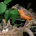 American Robin Feeding Its Young Poster by David N. Davis