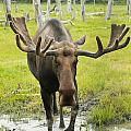 An Elk Standing In A Puddle Of Water Poster by Doug Lindstrand