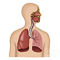 Anatomy Of Human Respiratory System Poster by Stocktrek Images