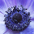 Anemone Coronaria Poster by Tim Gainey