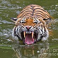 Angry Tiger Print by Louise Heusinkveld