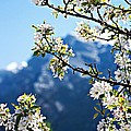 Apple Blossoms Frame the Rockies Poster by Lisa Knechtel