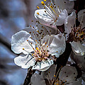 Apple Blossoms Print by Robert Bales