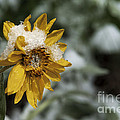 Arrowleaf Balsamroot in Snow Print by Robert Weiman