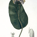 Asclepias Syriaca From Phytographie Print by L.F.J. Hoquart