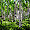 Aspen Glen Print by The Forests Edge Photography - Diane Sandoval