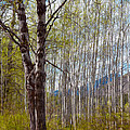 Aspen Trees Proudly Standing Poster by Omaste Witkowski