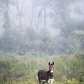 August morning - Donkey in the field. Print by Gary Heller