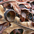 Autumn Acorn and Oak Leaves Print by Jennie Marie Schell
