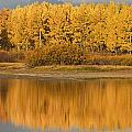 Autumn Aspens Reflected In Snake River Poster by David Ponton
