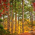 Autumn Canvas Print by Carol Groenen