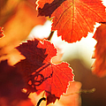 Autumn Grapevine Leaves Poster by Charmian Vistaunet