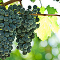 Autumn ripe red wine grapes right before harvest Print by Ulrich Schade