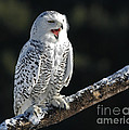 Awakened- Snowy Owl Laughing Poster by Inspired Nature Photography By Shelley Myke