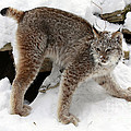 Baby Canadian Lynx Leaving the Winter Den Poster by Inspired Nature Photography By Shelley Myke