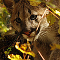 Baby Cougar Watching You Poster by Inspired Nature Photography By Shelley Myke