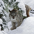Baby Lynx Hiding in a Snowy Pine Forest Poster by Inspired Nature Photography By Shelley Myke